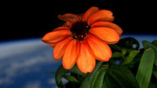 Zinnia blooming in space