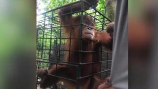 Orangotango em jaula na Indonésia