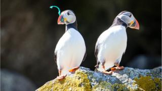 Puffins on Shiant Isles in Scotland