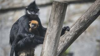 A newborn male Francois' langur and its mother