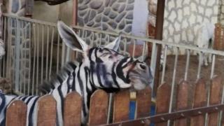 donkey zebra