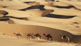 Camels on sand dunes