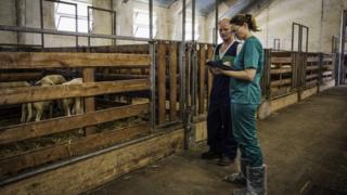 A nurse looking at sheep