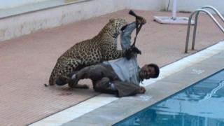 Wildlife expert Sanjay Gabbi being mauled by a leopard.