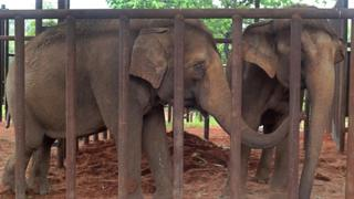 Asian elephants Guida and Maia stand together for the first time in the adaptation area of their new home, Latin America's first elephant sanctuary