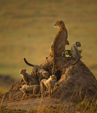A cheetah with its cubs