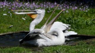 Dalmatian or curly pelicans are known for the ruffle of feathers on their heads
