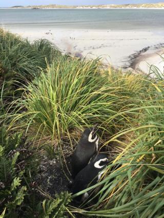 Пингвины-магелланы в заливе Йорк