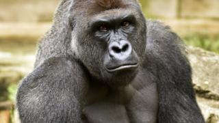 Harambe el gorila