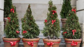 Row of potted Christmas trees with red bows