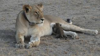 A leopard cub is seen suckling on a lioness in the Ngorongoro Conservation Area, Tanzania, in this handout picture released on 14 July 2017.