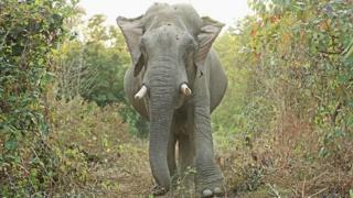 ၂ဝ၁၇-၁၈ ခုနှစ်မှာ မြန်မာတောရိုင်းဆင် ၅၉ ကောင်အထိ သတ်ဖြတ်ခံခဲ့ရပါတယ်