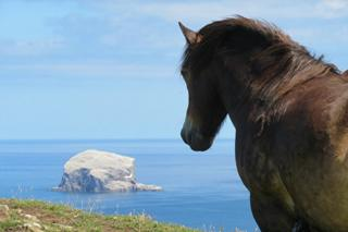 Pony on summit of North Berwick Law looking towards the Bass Rock
