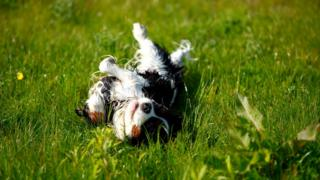 Собаки любят кататься по земле - особенно если там есть что-то, с нашей точки зрения, мерзко пахнущее