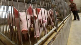 山西朔州一大型养猪场内的幼猪(中新社资料图片)