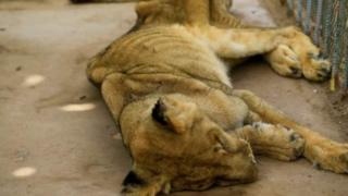 singa di sudan