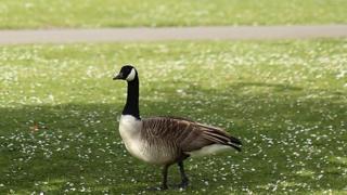 A Canada goose stands in a field