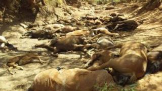 The bodies of many wild horses in a dried-up waterhole near Alice Springs