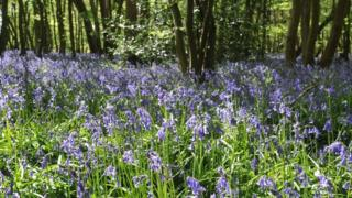 A forest with bluebells