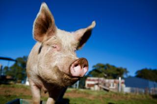 Свинья на фоне голубого неба