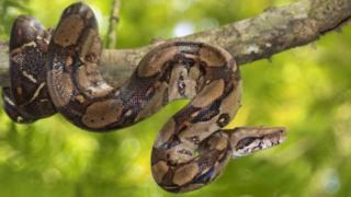 Un python réticulé enroulé sur une branche d'arbre (illustration)