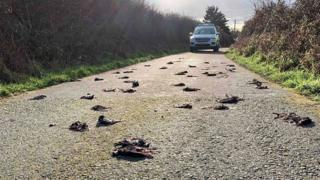 Мертвые скворцы на дороге