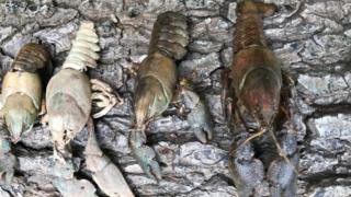 The white-clawed crayfish next to the American signal crayfish