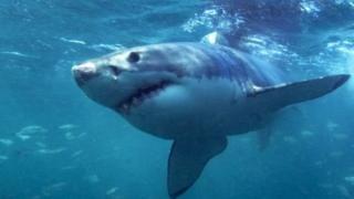 ฉลามในออสเตรเลียถูกไล่ล่าจากกลุ่มผู้แกะรอยสัญญาณวิทยุติดตามตัวที่บอกตำแหน่งของมัน