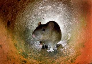 Пацюки - не рідкість у Нью-Йорку, та спалахи захворювання через них трапляються нечасто