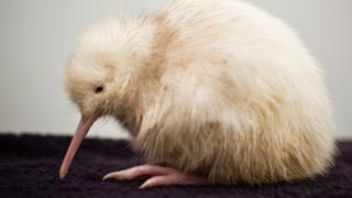 A young kiwi bird