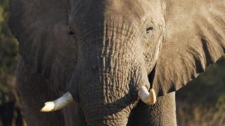 Le Botswana a la plus importante population d'éléphants en Afrique, avec 135.000 pachydermes recensés en 2015.