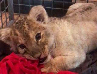 The lion cub lies down in a cage playing with a red rag
