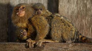 The rare pygmy marmoset species is native to South America