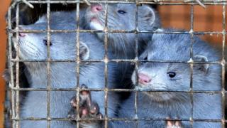 Minks peer out of their cages at a pelt farm near Minsk