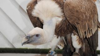 Eurasian Griffon vulture Yatsey