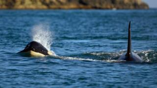 Wild Alaska Orca, one of the biggest predators of the Alaskan summer feast, Kenai Fjords National Park, Alaska.