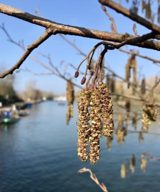 Spring catkins at University College Boat House