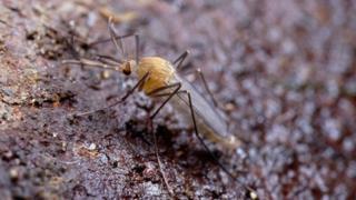 Mosquito do metrô de Londres