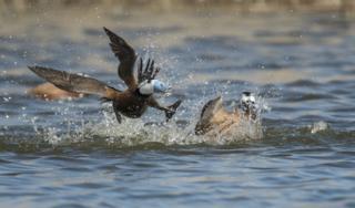 Two white-headed ducks fighting