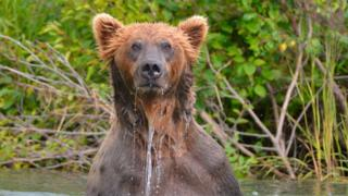 Wild Alaska Brown Bear, fishing for Salmon, Katmai National