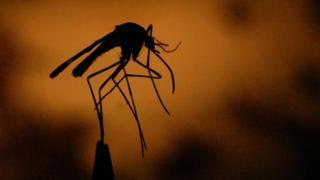 Mosquito que transmite el virus de la fiebre del Nilo Occidental