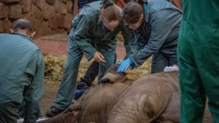 Vets-inspect-ear-of-elephant-who-is-sedated.