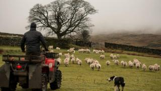Farmer with a flock of sheep and a sheepdog
