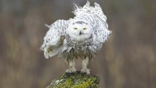 A snowy owl shaking off its feathers on a rainy winter day.