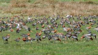 Flock of godwits at kilmoluaig