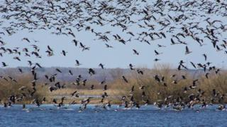 Скупчення гусей