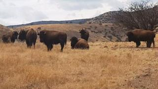 Bison graze on one of the ranches belonging to Mr Duarte