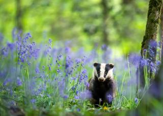 A baby badger walking through bluebells in a wood