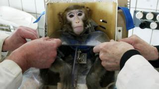 Rusya'da deneyde kullanılan maymunlar