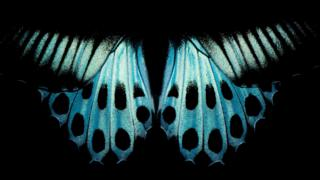 Imagem das asas de borboleta 'Blue Mormon' (Papilio polymnestor)